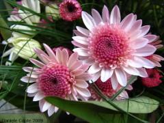 crisantemiridotti3.jpg